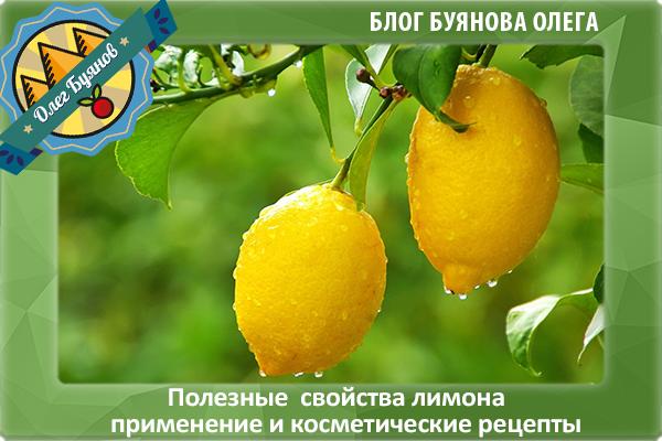 плоды лимона на ветке