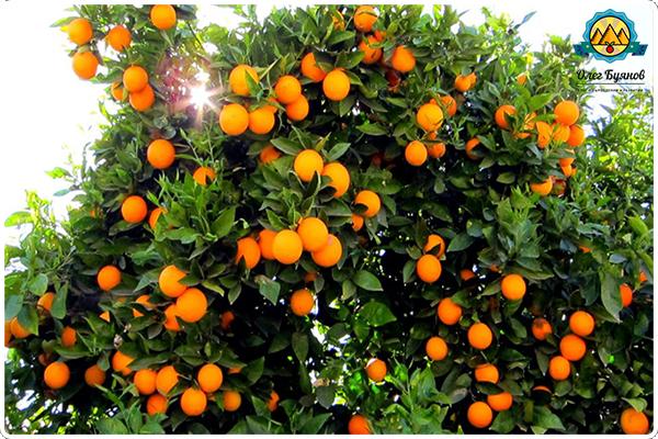 так растёт грейпфрут
