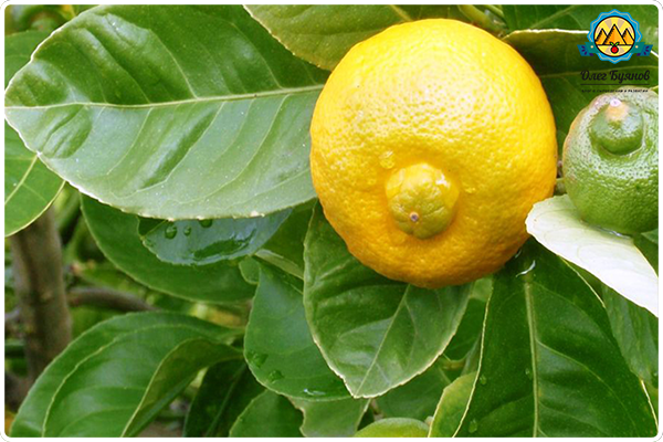 фрукт лимон