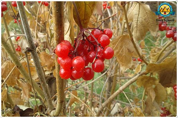 ягода калины