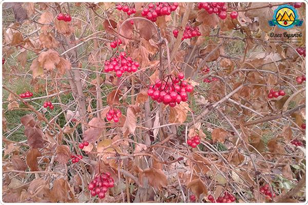 ягоды калины на ветке