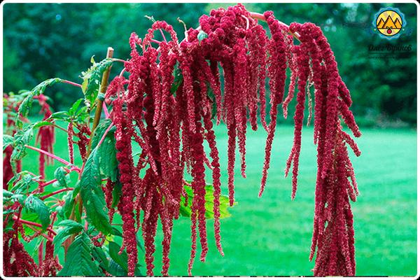 цветки амаранта